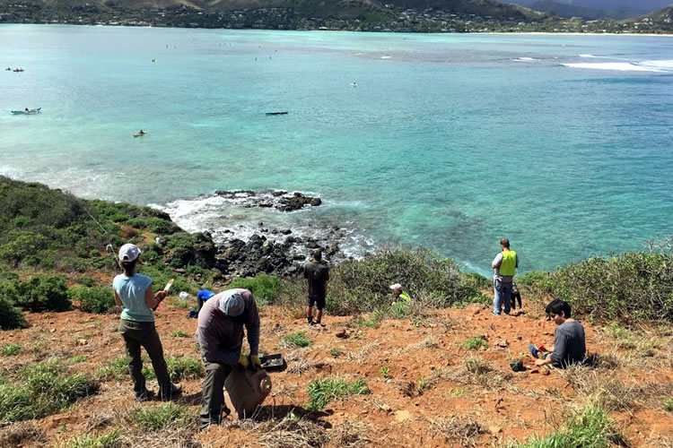 Community members plant native species on Mokulua offshore island wildlife sanctuary off Lanikai, windward O`ahu.