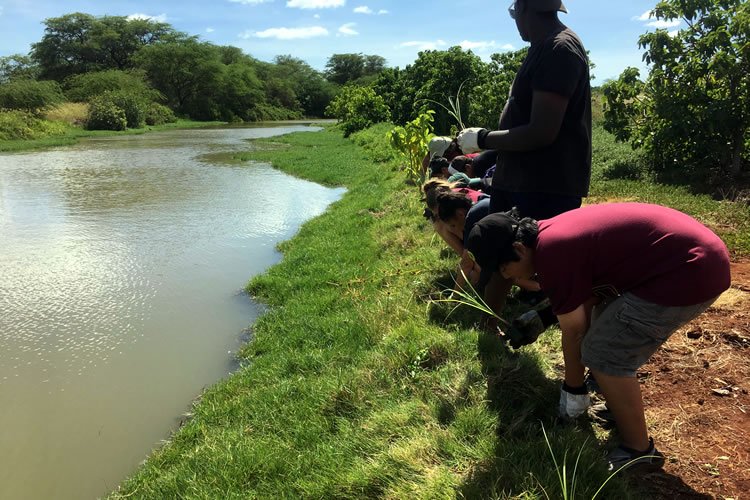 Students prepare to plant native `ahu`awa (Cyperus javanius) to stabilize stream bank as part of a restoration project in windward O`ahu.