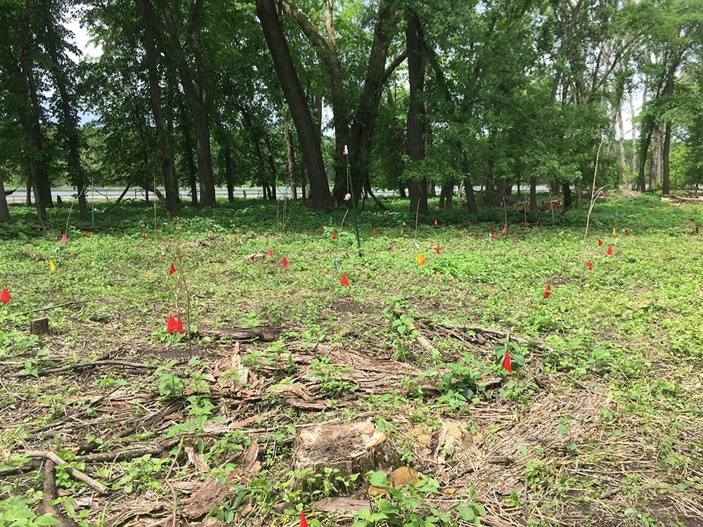 A plot in the 'resilience' treatment as of May 25, 2020. Flags indicate spots where trees are planted, and you can see some of the trees planted as bare root saplings (3-5 feet tall). Mature trees and Crosby Lake are in the background.