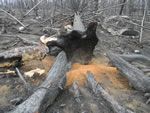 Site affected by high fire severity in both the overstory and understory. Orange color is characteristic of soils heated to high temperatures, and indicates a long burn period as the fire burned through the base of this spruce tree.