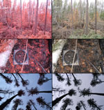 photo series for a plot location affected by a less severe surface fire in a jack pine-black spruce stand. left-side photos were taken with an infrared camera, right-side photos were taken with a visible light camera. The cardboard frames in the center indicate the 30-cm soil sample locations prior to sampling.