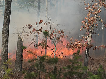 [photo:] Observed prescribed fire in the New Jersey Pine Barrens and the typical prescribed fire conditions being examined in this study of how fire-atmosphere interactions during wildland fires can lead to tree mortality.
