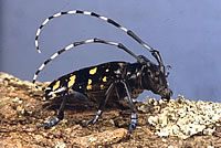 [image:] Adult Asian longhorned beetle