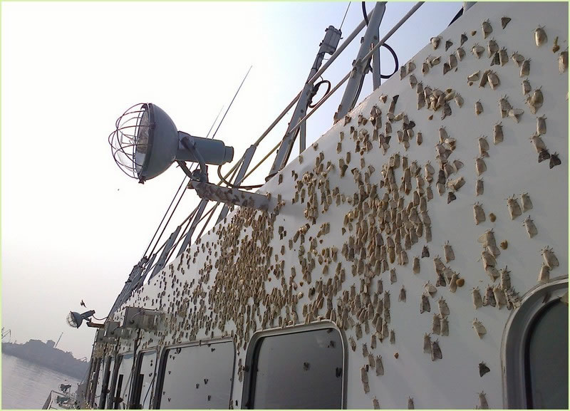 [photo:] Asian gypsy moths laying egg masses near lights on a Russian vessel while in port.