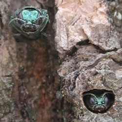 [photo:] Adult emerald ash borers emerging from exit holes.