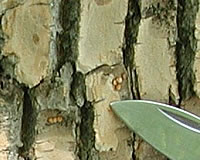 [photo:] EAB eggs on bark of tree