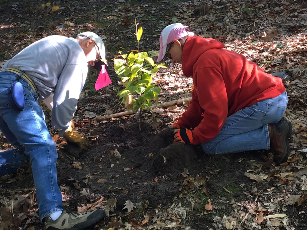 [photo:] Friends of Ludington State Park Volunteers planting a resistant American beech seedling at the Beechwood Campground. Photo by Elissa Buck, Michigan DNR, used with permission.