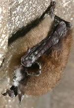 White nose syndrome infected little brown bat.  White nose syndrome appears on the noses, wings, ears and feet of infected bats. It is a deadly disease affecting cave hibernating bats. Photo by Al Hicks, NYSDEC, Bugwood.org