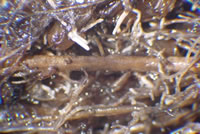 [photo] Mycorrhizal chestnut  roots as seen under a dissecting microscope.