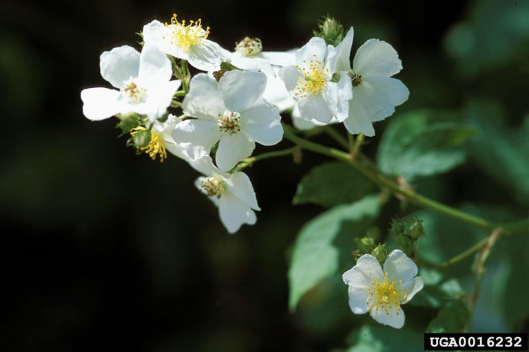 [image:] Multiflora rose, photo by James H. Miller, USDA Forest Service
