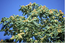 [image:] Female tree with prominent seeds.