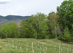 [image:] American chestnut orchard in southern Vermont. Photo by VT/NH Chapter of TACF
