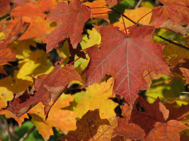 Northern Research Station scientists are researching whether fall leaf colors contain clues about how some trees respond to environmental stress.