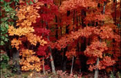 [photo:] Colorful Fall foliage in mixed northern hardwoods