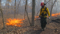Combining prescribed fire with tree thinning helps restore oak woodlands and savannas.