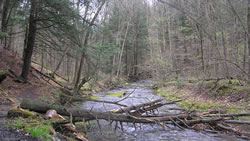 Hemlock forests are important to the ecohydrology of riparian areas in the Pine Creek Watershed, Tioga County, Pa.  Our partnership is devising options to maintain conifer coverage in lieu of threats from hemlock woolly adelgid. Photo by Mary Ann Fajvan, USDA Forest Service.