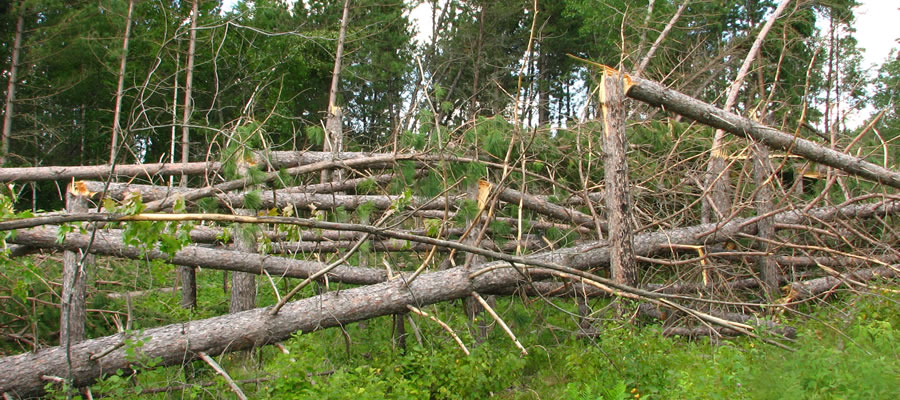Wind storm damage on the Chippewa National Forest.