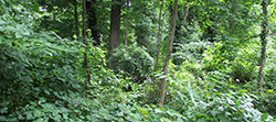 Unmanaged forest patch in Baltimore