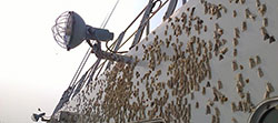 Asian gypsy moths laying egg masses near lights on a Russian vessel while in port