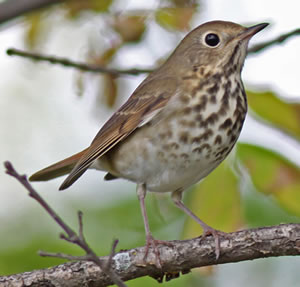 Hermit Thrush. Photo by Larry Sirvio, used with permission.