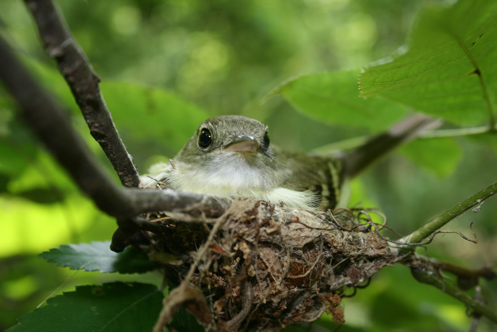 Adult Acadian flycatcher on nest. Photo by Andrew Cox, Florida Fish and Wildlife Conservation Commission, used with permission.