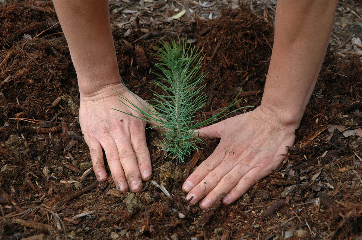 Two hands planting a softwood tree seedling.  USDA Forest Service photo
