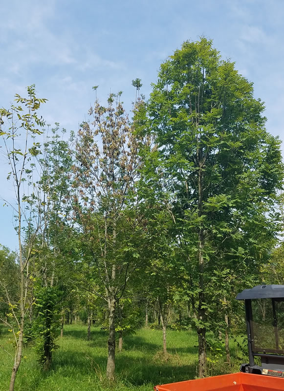 European ash trees being studied by Jennifer Koch, a USDA Forest Service scientist in Delaware, Ohio, demonstrate various levels of natural resistance to emerald ash borer. The tree on the right appears to be a ''lingering'' ash, a tree that is remaining healthy while its neighbors die. USDA Forest Service photo,