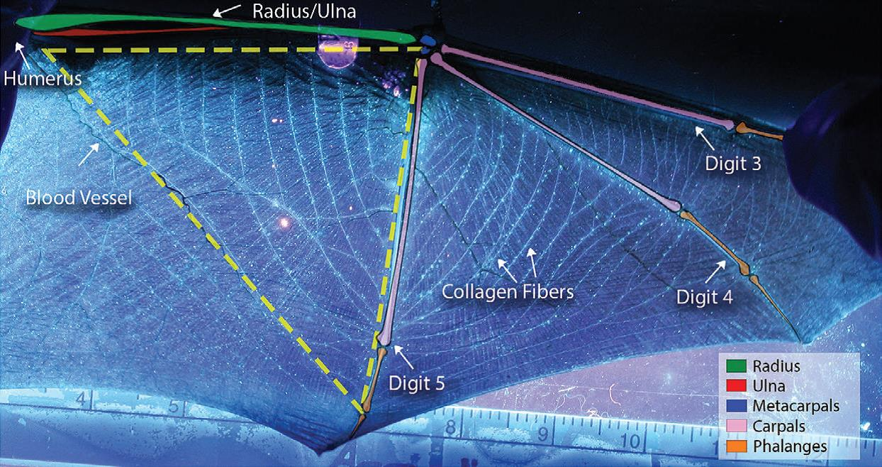 This photograph of a bat's left wing illustrates wing structure and shows the collagen fibers that Forest Service scientist Sybill Amelon and her colleagues believe may be the key to identifying individual bats. The image was used as Figure 1 in their study, 'Bat wing biometrics: using collagen-elastin bundles in bat wings as a unique individual identifier.'
