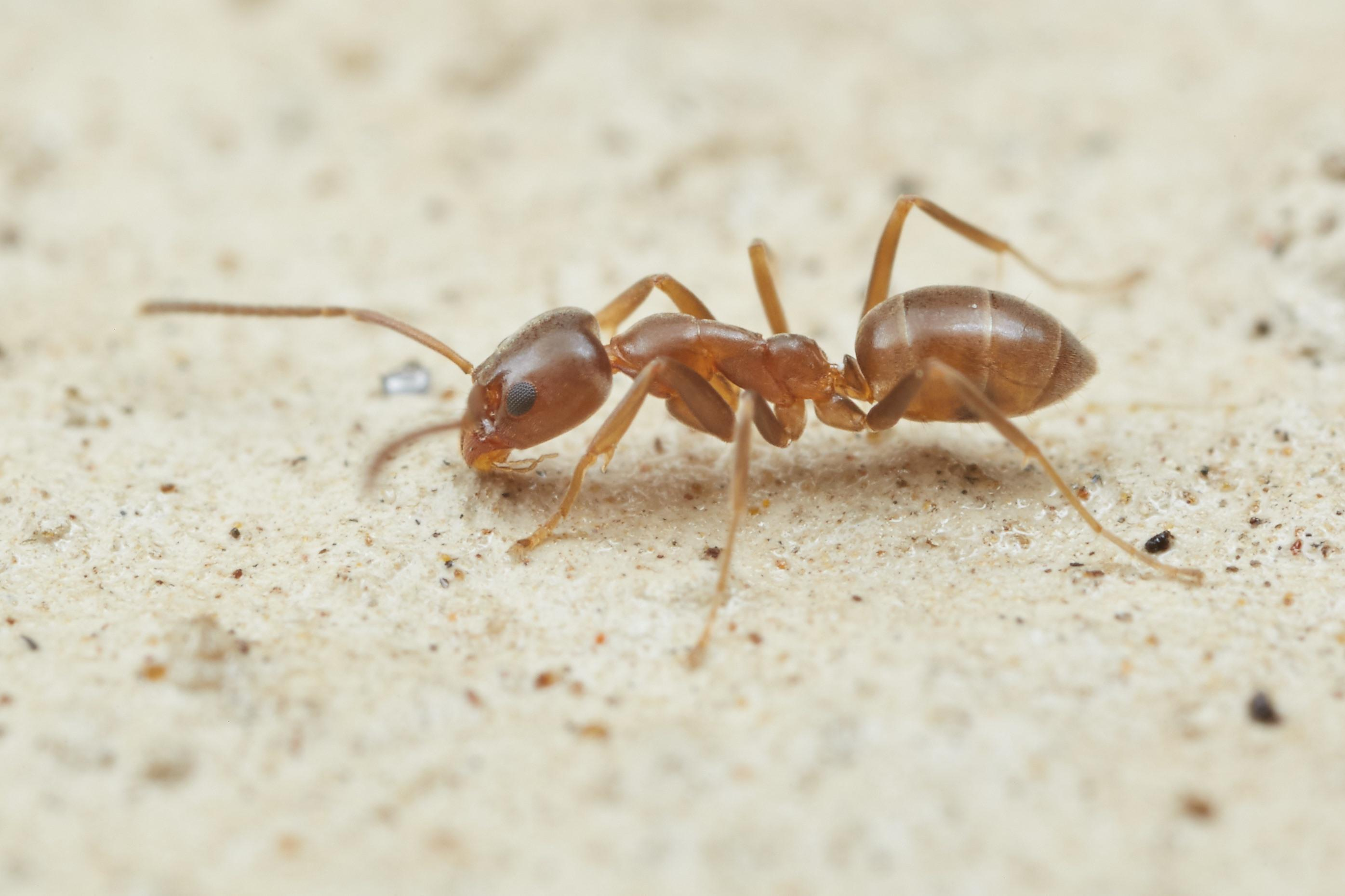 Nearly a century of data on ant interceptions at air and maritime ports in the United States and New Zealand was used in an analysis of global invasive species introduction, spread and subsequent invasion. Photo shows an Argentine ant, photo credit: www.AntWeb.org