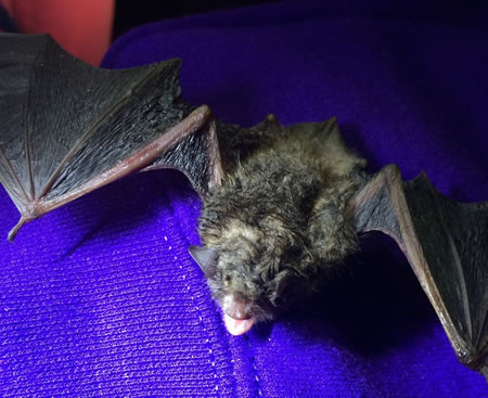 Little brown bat being checked for signs of white nose syndrome.  Photo by Dan lindner, US Forest Service.