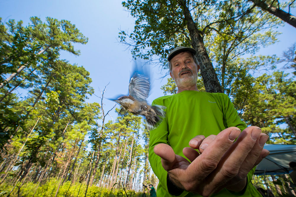 Research Wildlife Biologist Frank Thompson releasing a brown-headed nuthatch on the Mark Twain National Forest.  Photo by Noppadol Paothong/Missouri Dept. Conservation, used with permission.