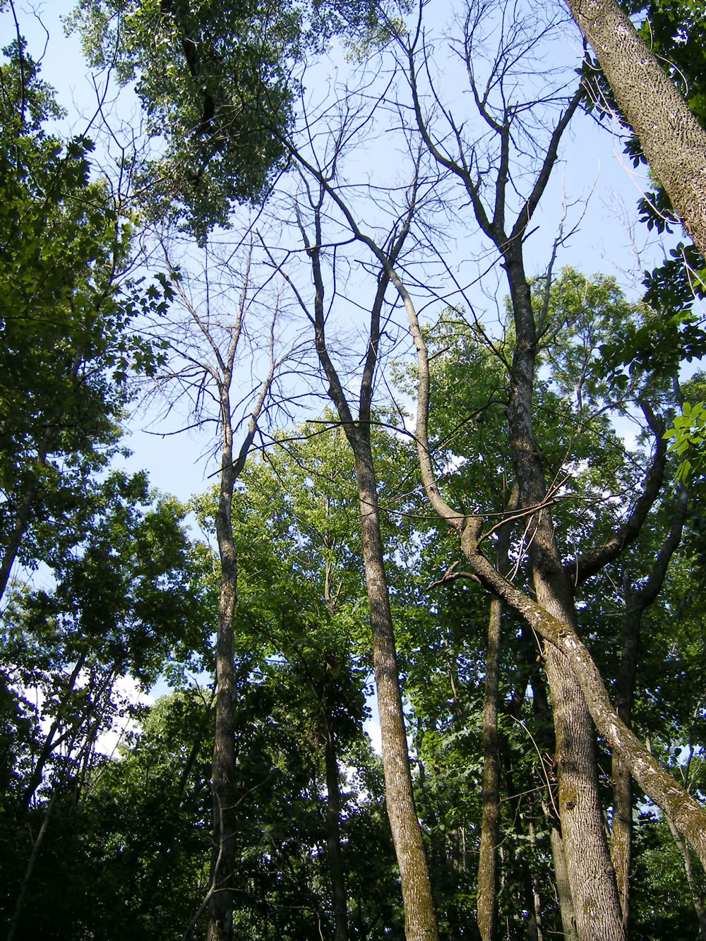 Dead ash trees.  Photo by Kathleen Knight, USDA Forest Service