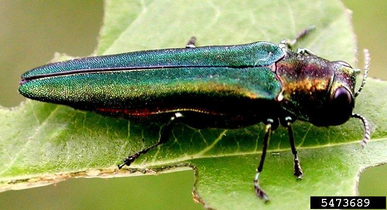 Adult emerald ash borer on partially consumed leaf. Photo credit: Leah Bauer, USDA Forest Service Northern Research Station, Bugwood.org