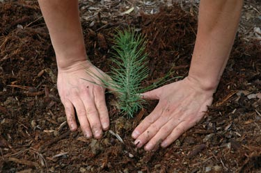 Close-up view of hands surrounding a freshly-planted pine tree seedling. USDA Forest Service photo.
