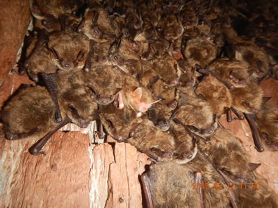 A research partnership led by the USDA Forest Service that is identifying ways that habitat management can help bats become more resilient to White-nose Syndrome (WNS) is the recipient of  the agency`s Wings Across the Americas research partnership award. Photo by Brian Heeringa, USDA Forest Service