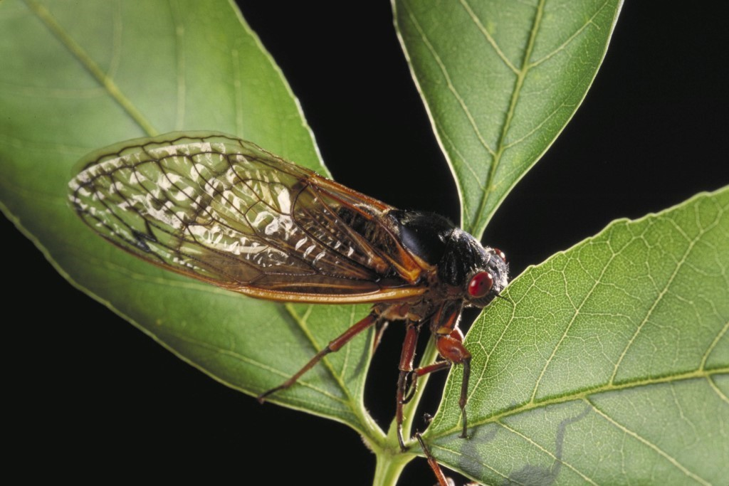 Brood X cicada on leaves. Photo by Ken Hammond/USDA..