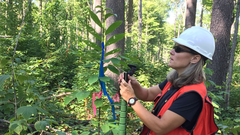 Collaborator Ami Sharp measuring a hybrid American chestnut