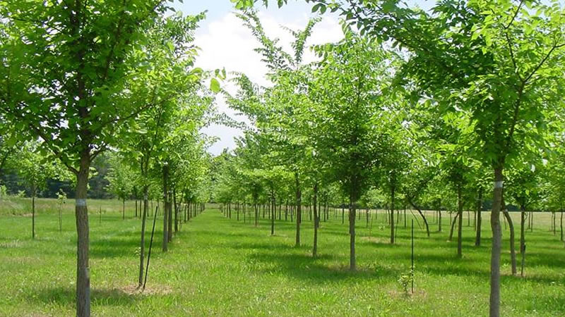 American elm plantation in Delaware, OH.