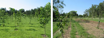 [photos] American elm test plots containing clonally propagated cross progeny and survivor selections.