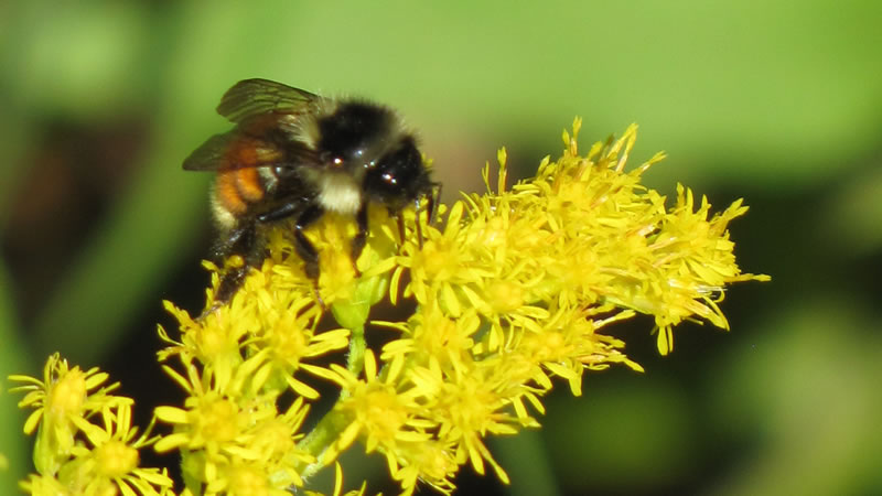 A tricolored bumble bee on goldenrod.