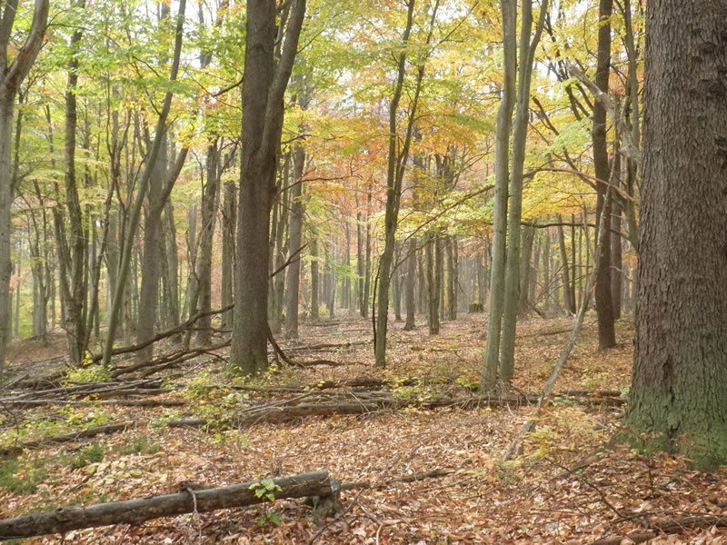 Hardwood forest on the Allegheny NF.