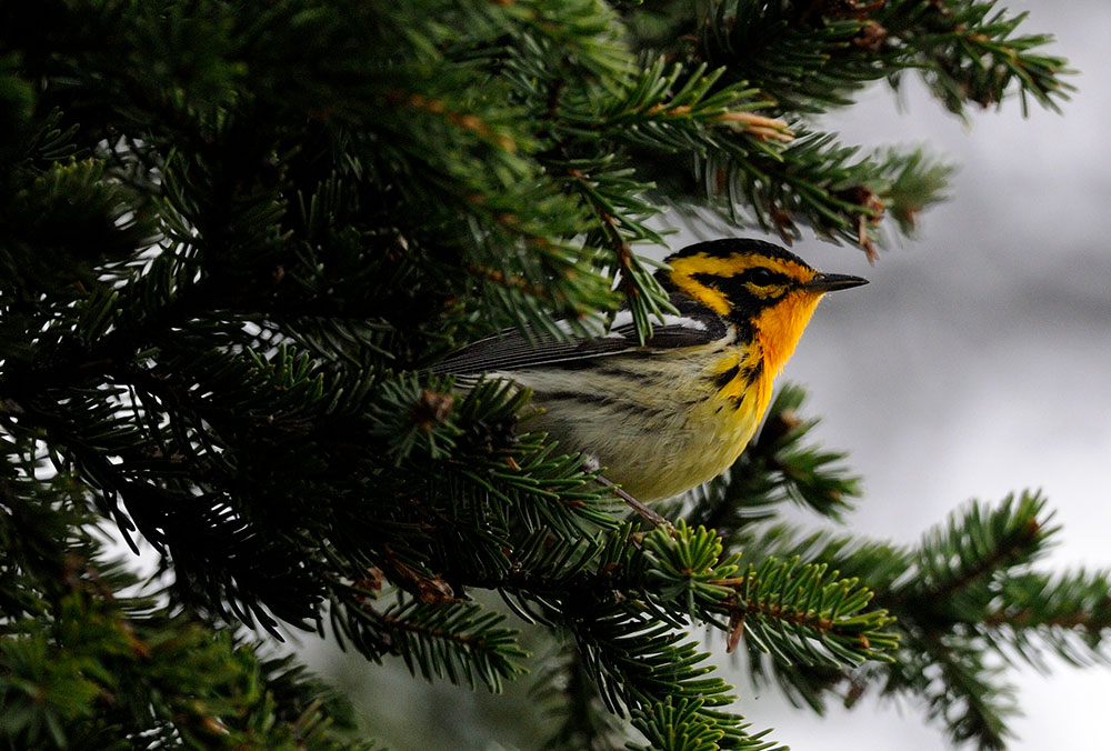 The blackburnian warbler is one of several species that were more abundant in Norway spruce plantations than any of the native forest types we sampled in central Massachusetts.