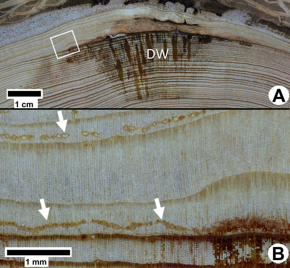 [photo:] Scientists are using microscopic and close-up photography to understand how trees recover from fire damage. Cross-section of a recent fire scar in Douglas Fir. A. The woundwood ribs have closed the wound. Wood beneath the wound is resin soaked (DW). B. Detail of A showing traumatic resin canals associated with the fire scar.