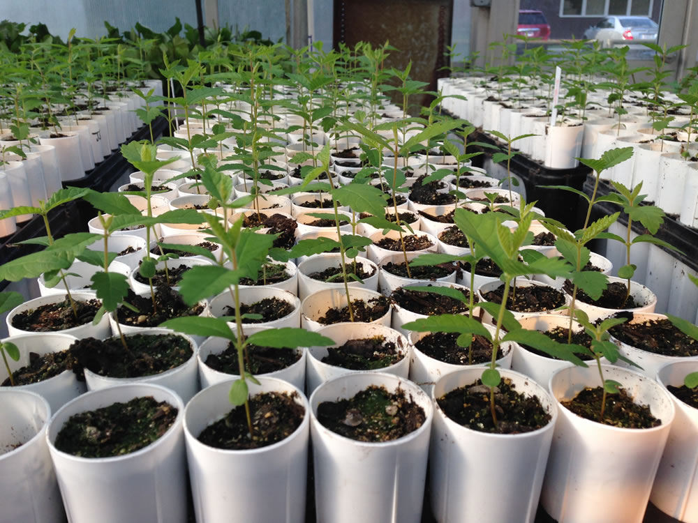 American elm seedlings that will be tested for tolerance to Dutch elm disease.