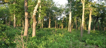 [photo:] A managed savanna site in the Missouri Ozarks