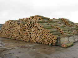 [photo:] Poplar biomass that is ready to be processed into plywood.
