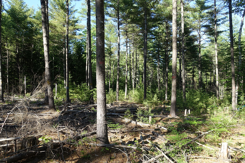 [photo:] Proper spacing of pole-size white pine trees after thinning improves tree health and increases growth rates; pruning reduces black knots in lumber. Photo by William H. Livingston, University of Maine, used with permission.