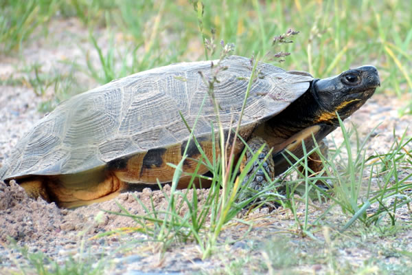 Female wood turtle. Photo by Joel Flory, SUNY-ESF. Used with permission.