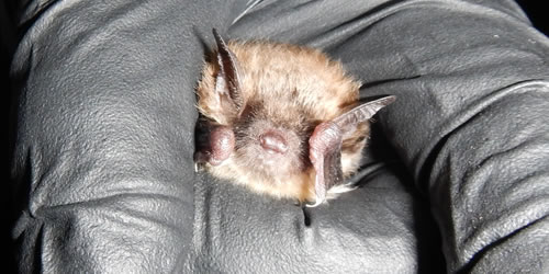 [photo:] Little brown bat
