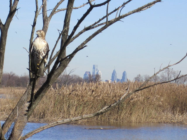 A hawk perches at John Heinz National Wildlife Refuge at Tinicum in Philadelphia. (Derik Pinsonneault, USFWS)